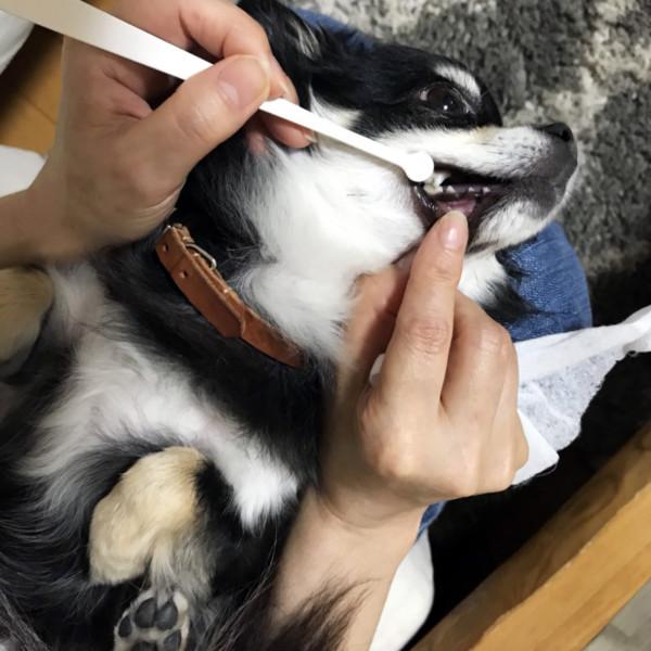 犬口ケア 歯ブラシ マイクロヘッド【超小型犬向き】